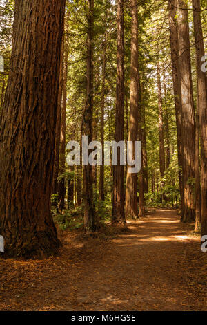 Fens in dappled sunlight at Redwood forest, Rotorua, Bay of Plenty - Stock Photo