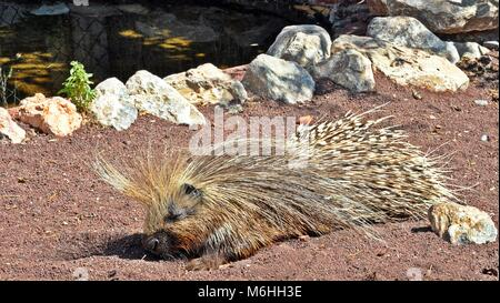 Porcupine sleeping on the floor - Stock Photo