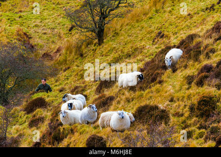 A shepherd and his sheep in the hills on the Isle of Skye. - Stock Photo