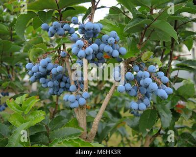 Mahonia fruits - Stock Photo