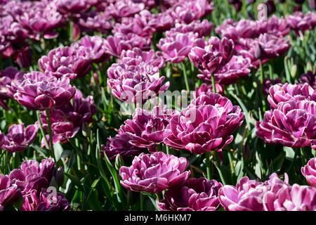 Blooming tulips flowerbed in Keukenhof flower garden, Netherland - Stock Photo