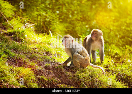 Rhesus macaques in forest - Stock Photo