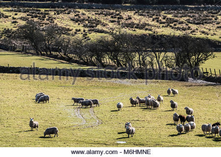 Oxnam, Jedburgh, Scottish Borders, UK. 20th February 2018. North Country Cheviots follow each other through a grass - Stock Photo
