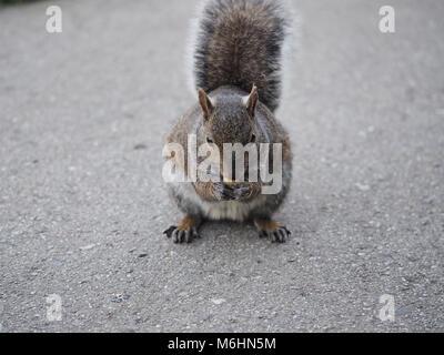 Eastern gray squirrel (Sciurus carolinensis) eating something, San Francisco CA USA, Feb 2018 - Stock Photo