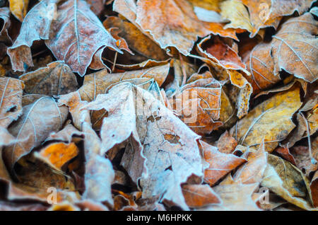 Morning frost on dry leaf leaves. Weather conditions. Abstract background - Stock Photo