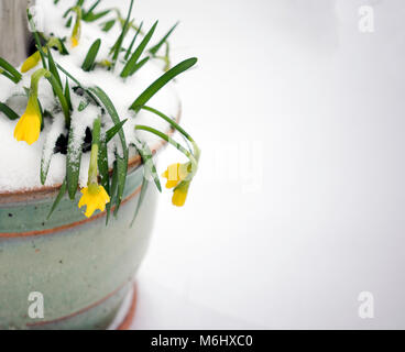 Snow covered Daffodills in a garden pot in early spring - Stock Photo
