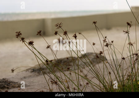 A stand of hurricane grass sprouts from the beach sands of Ambergris Caye, Belize.  Fimbristylis spathacea, Hurricane - Stock Photo