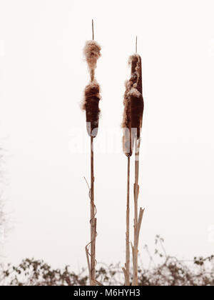 close up of bulrush in white winter sky outside nature plant; essex; england; uk - Stock Photo