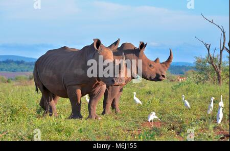 Kruger Park, South Africa. A wildlife and bird paradise. Southern white rhino grazing. - Stock Photo