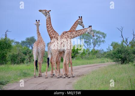 Kruger Park, South Africa. A wildlife and bird paradise. Long necked giraffe - Stock Photo