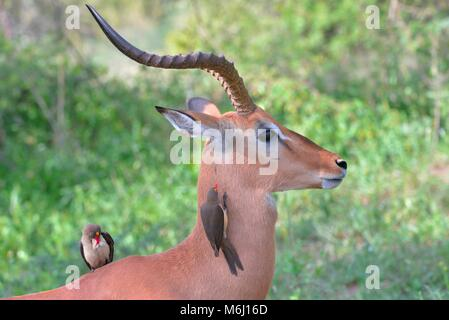 Kruger Park, South Africa. A wildlife and bird paradise. Red billed oxpeckers on impala ram - Stock Photo