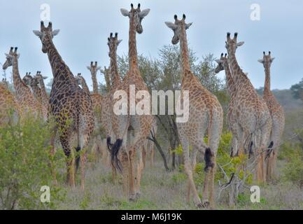 Kruger Park, South Africa. A wildlife and bird paradise. Herd of giraffe from behind. - Stock Photo
