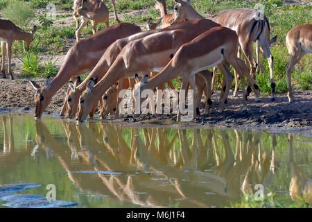 Kruger Park, South Africa. A wildlife and bird paradise. Impalas drinking at waterhole. - Stock Photo