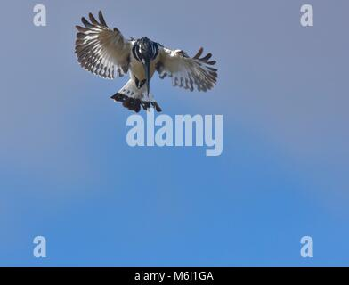 Kruger Park, South Africa. A wildlife and bird paradise. Hovering pied kingfisher. - Stock Photo