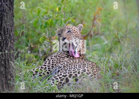 Kruger Park, South Africa. A wildlife and bird paradise. Male leopard relaxing on grassand licking his back with - Stock Photo