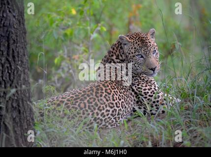 Kruger Park, South Africa. A wildlife and bird paradise. Male leopard relaxing on grass. - Stock Photo