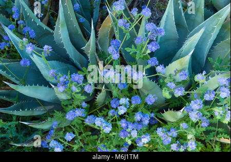 Agave, Blue Phacelia, Glorietta Canyon, Anza-Borrego Desert - Stock Photo