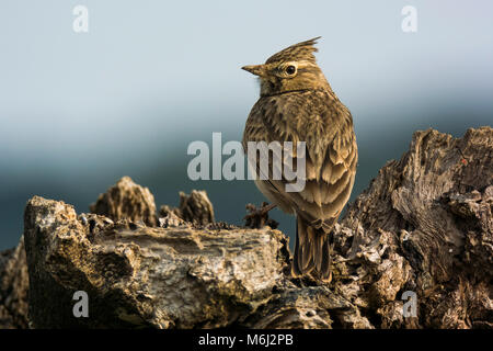 Crested Lark (Galerida cristata) perched - Stock Photo