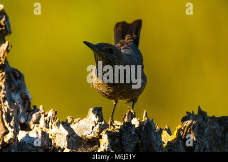 Blue rock thrush (Monticola solitarius) female - Stock Photo