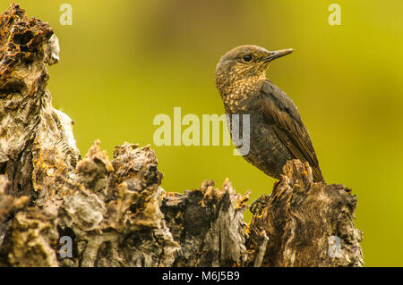 BLUE ROCK THRUSH (Monticola solitarius) female perched - Stock Photo