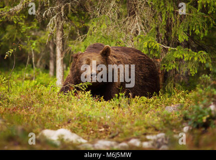 Close up of European brown bear male in boreal forest, Finland. - Stock Photo