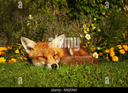Red fox sleeping in the garden with flowers, summer in UK. - Stock Photo