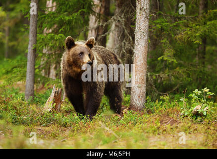 European brown bear (ursos arctos) male in boreal forest, Finland. - Stock Photo