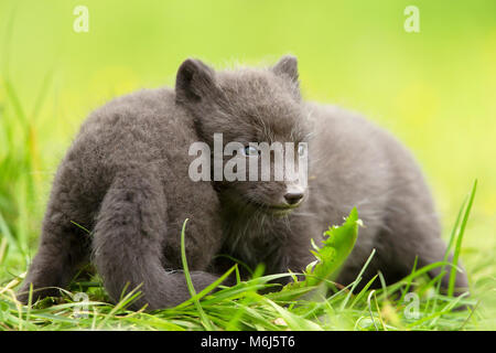 Arctic fox Vulpes lagopus cubs playing with each other, summer in Iceland. - Stock Photo