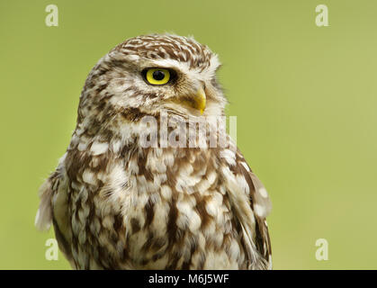 Close up of a Little owl Athene noctua against green background, UK. - Stock Photo