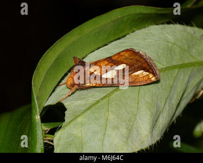 Plusia festucae (gold spot) is a species of moth of the family Noctuidae. Moth is sitting on a green leaf. - Stock Photo
