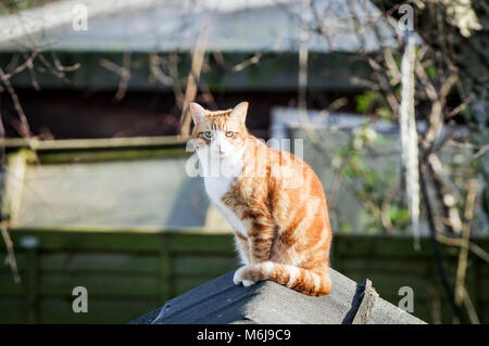 Large ginger cat sitting on top of a shed, basking in spring sunshine - Stock Photo
