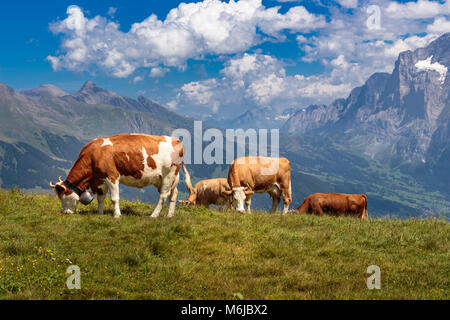 Brown mountain cows grazing on an alpine pasture in the Bernese Alps in summer. Grindelwald, Jungfrau region, Bernese - Stock Photo