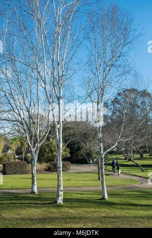 Three Silver Birch Betula pendula trees in Trenance Gardens in Newquay Cornwall. - Stock Photo