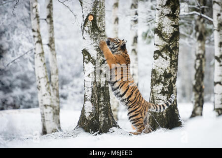 Young Siberian tiger climbing on a birch tree - Stock Photo