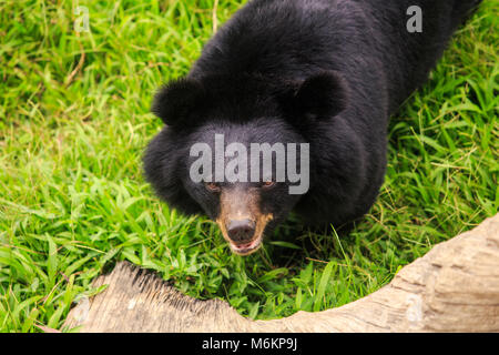 closeup large black bear stands on paws on grass at tree trunk in zoo of tropical park in Asia - Stock Photo