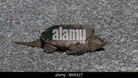 A Common Snapping Turtle (Chelydra serpentina) crossing the road in Everglades National Park, Florida. - Stock Photo