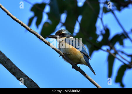 An Australian Immature Sacred Kingfisher resting on a Tree branch close-up - Stock Photo