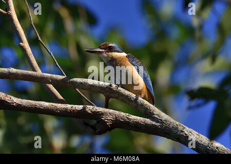 An Australian Immature Sacred Kingfisher resting on a Tree branch - Stock Photo