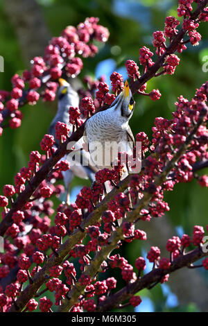 An Australian Noisy Miner stretching up for some Tree berries - Stock Photo