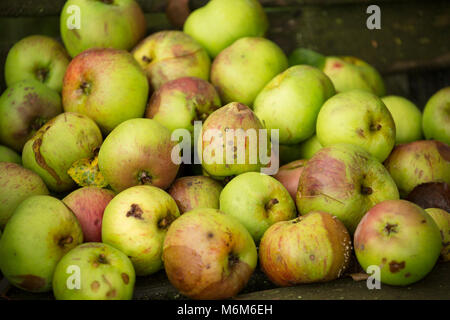 Windfall cooking apples collected from an old orchard, Lancashire North West England UK GB - Stock Photo