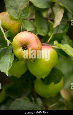 Apples growing in an old orchard Lancashire North west England UK GB - Stock Photo