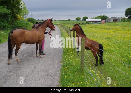 Chestnut Brown Horse in Lush Summer Paddock of Hough Farm Stable. Royton, Manchester, UK. June, 2016 - Stock Photo