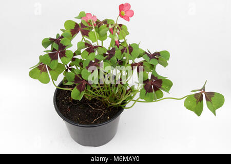 St. Patrick's day.  Four leaf clover isolated on white background with copy space. Four leaves clover plant in pot - Stock Photo