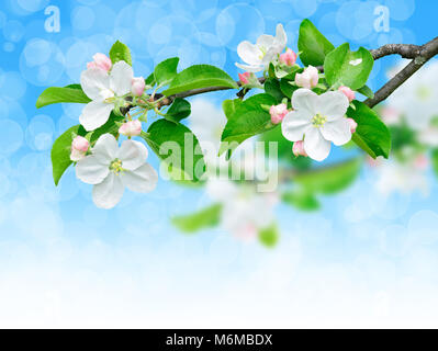 Spring apple branch with flowers. Blooming apple tree detail over shiny blue sky background with clipping path, - Stock Photo