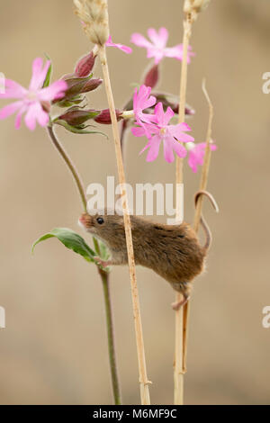 Harvest Mouse; Micromys minutus; Single; Captive; Climbing on Wheat and Campion Devon UK - Stock Photo