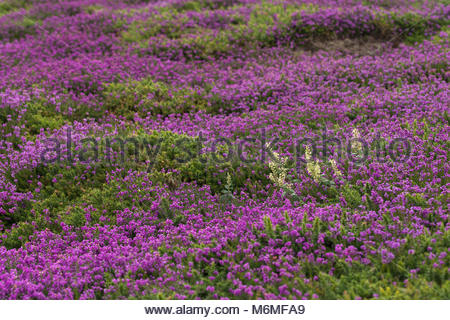 Heathland; with Bell Heather; Erica cinerea; and Wood Sage; Teucrium scorodonia; in Flower; Cornwall; UK - Stock Photo