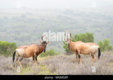 Two red hartebeest (Alcelaphus buselaphus) standing in landscape, looking at camera, Addo Elephant National Park, - Stock Photo