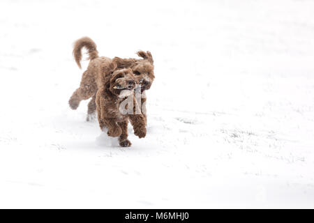 Two chocolate cockerpoos playing chase with a stick in the snow. Space for your text. - Stock Photo