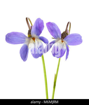 Two early spring flowers ( Viola odorata) isolated on white background. Shallow depth of field. Selective focus. - Stock Photo
