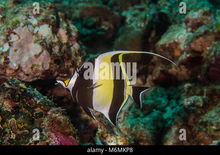 Moorish idol, Zanclus cornutus, Zanclidae, Anilao, Philippines, Asia - Stock Photo